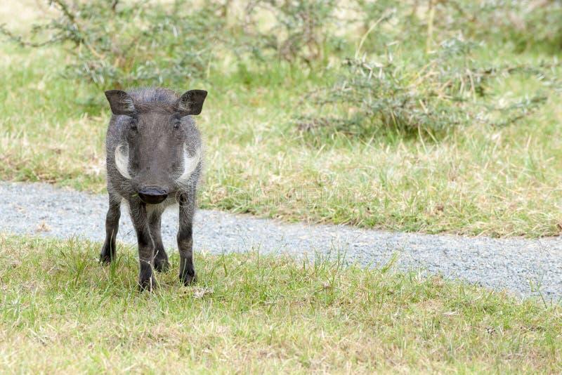 warthog imagen de archivo