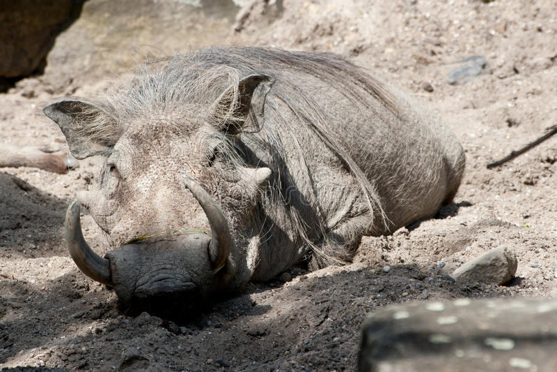 warthog zdjęcia royalty free