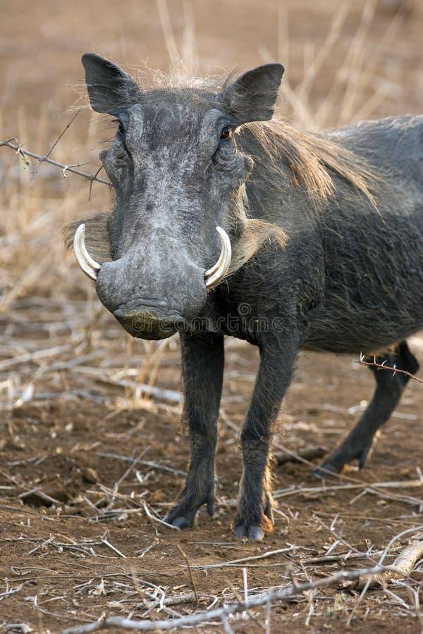 warthog стоковые изображения rf