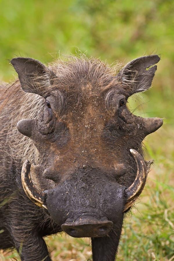 Free Warthog Stock Photography - 8822572