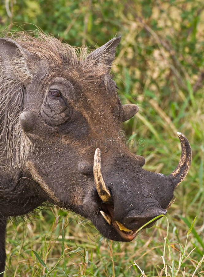 Warthog stockfotos