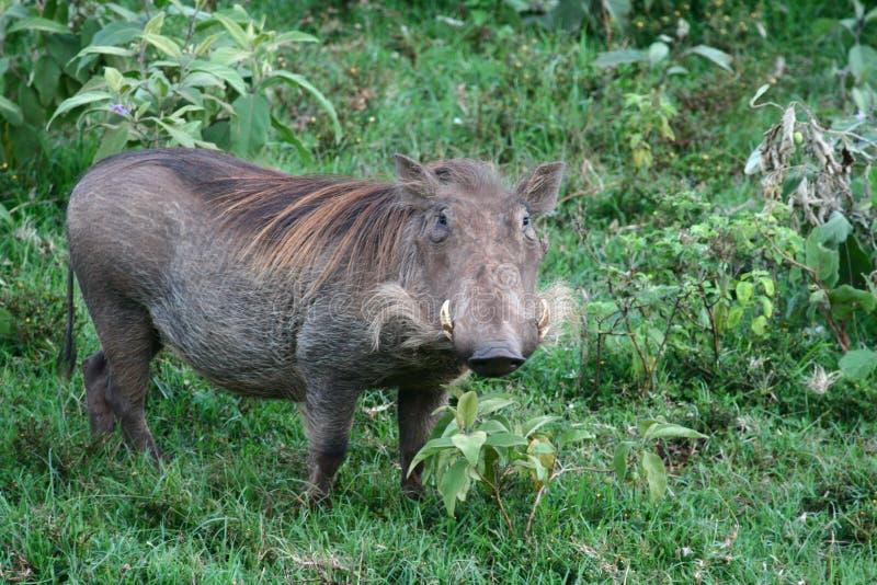 warthog стоковое фото rf