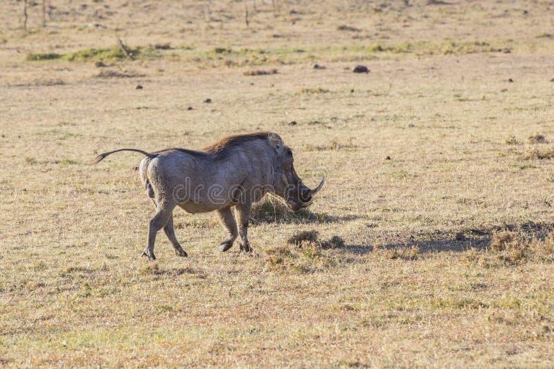 warthog photos stock