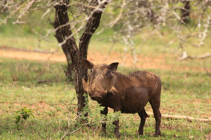 Wild male warthog in african wilderness bush safari   royalty free stock photo