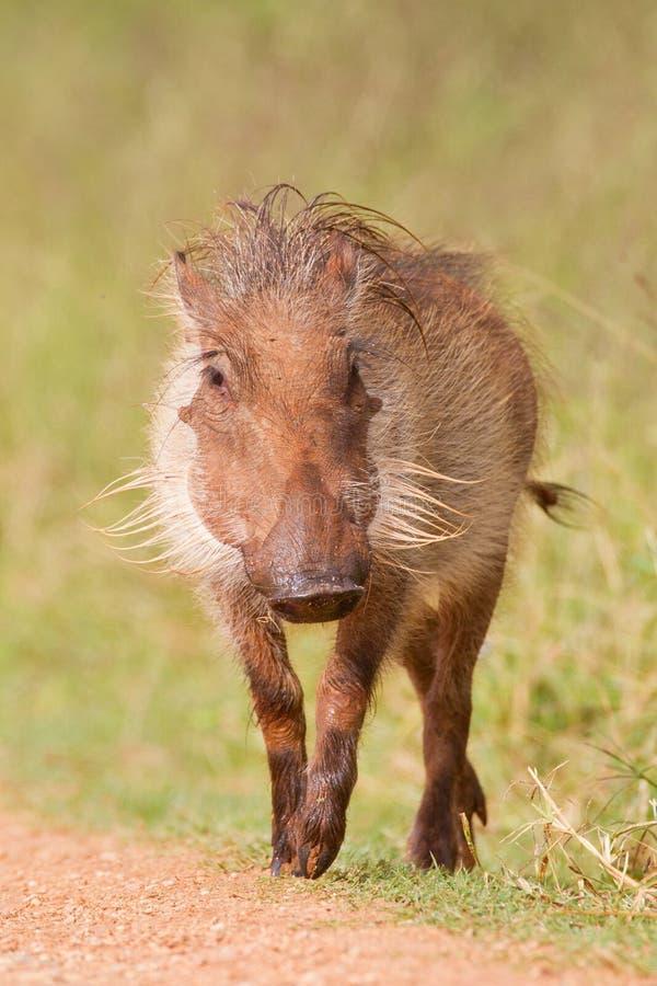 Warthog (africanus del phacochoerus) fotografia stock