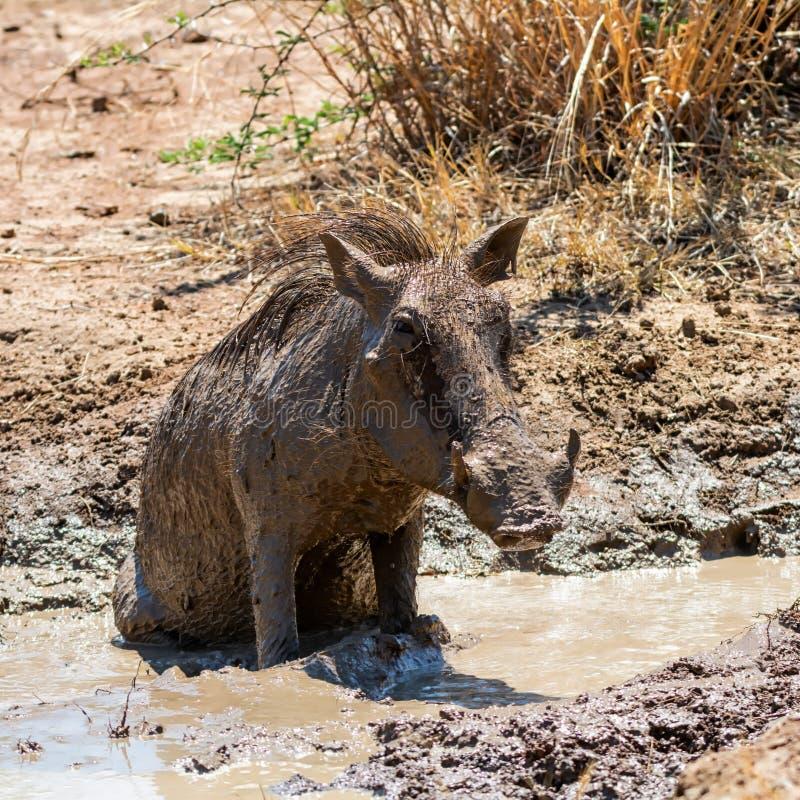 Warthog Borowinowy skąpanie zdjęcie royalty free