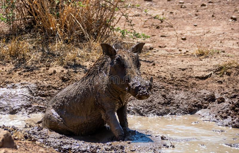 Warthog Borowinowy skąpanie obraz royalty free