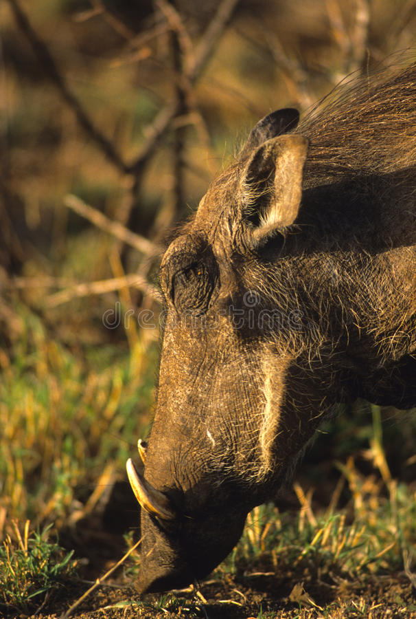 Download Warthog Close Up Stock Photography - Image: 11891922
