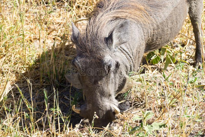 Warthog close up, Tarangire National Park, Tanzania royalty free stock photography