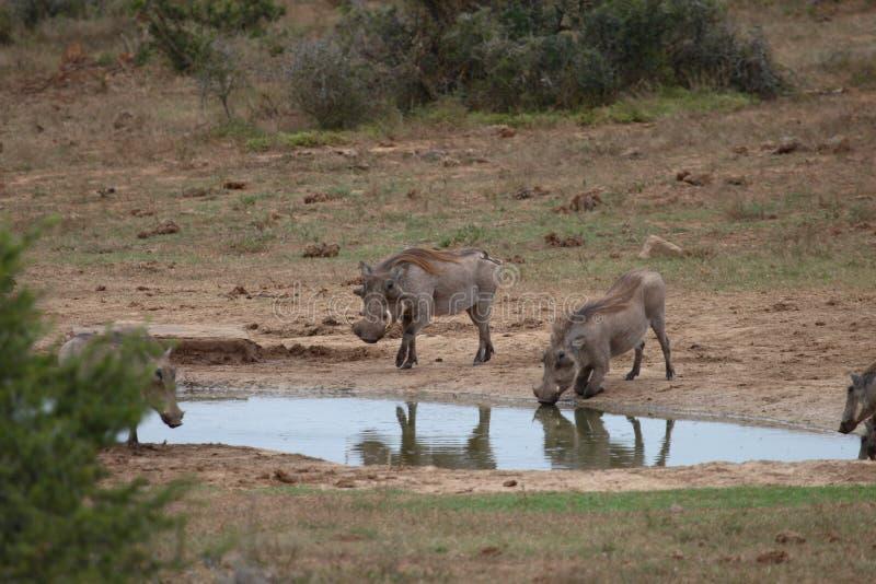 Warthog drinking royalty free stock image