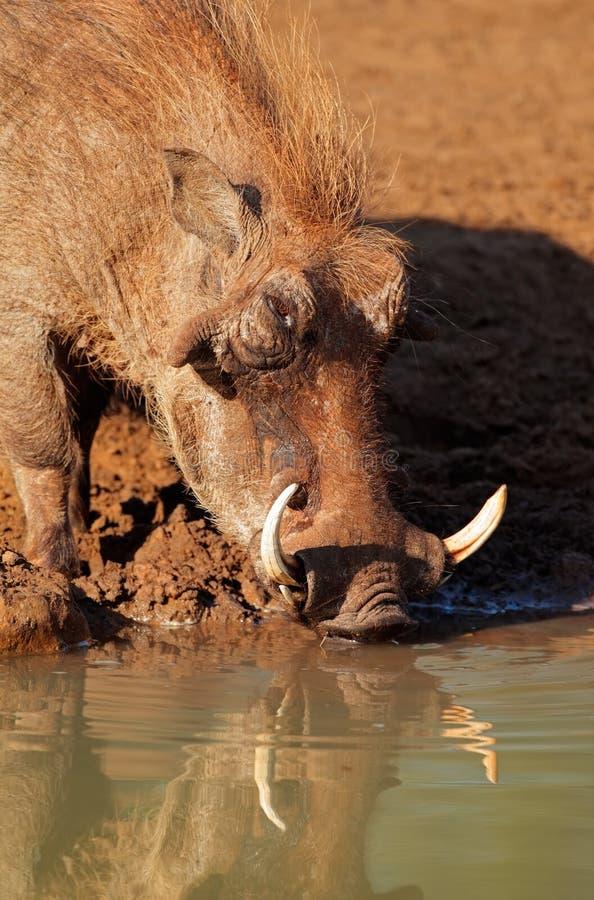 Warthog drinking water royalty free stock images