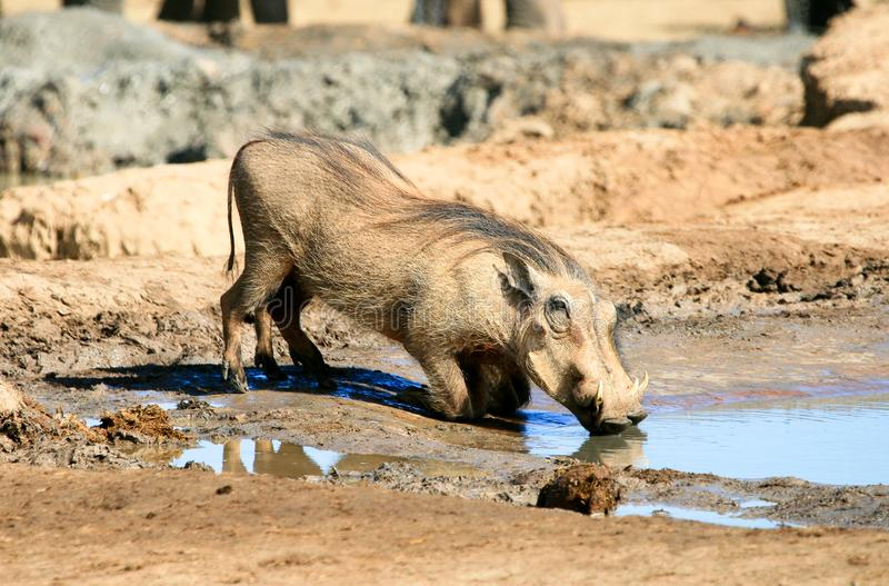 Warthog drinking at waterhole in South Africa stock photo
