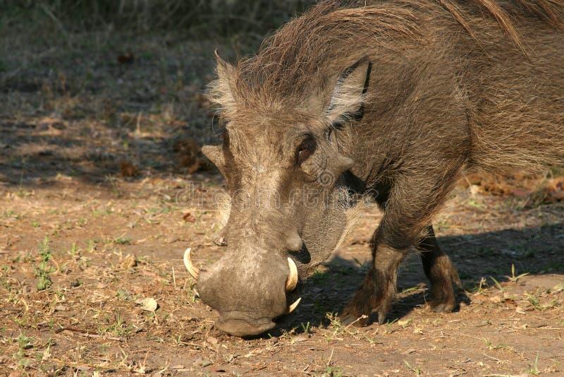 Warthog em Malawi, África fotografia de stock royalty free