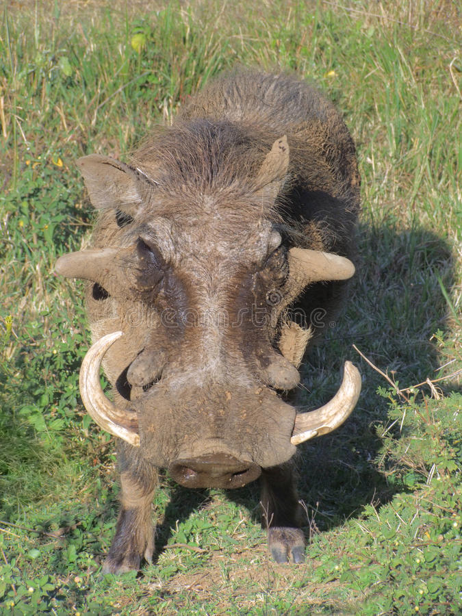 Warthog en Afrique du Sud photo stock