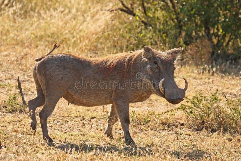 Warthog en Sabi enarena safari fotografía de archivo