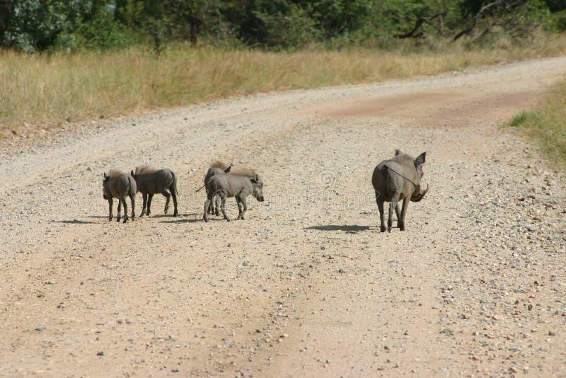 Warthog Et Chéris Images libres de droits