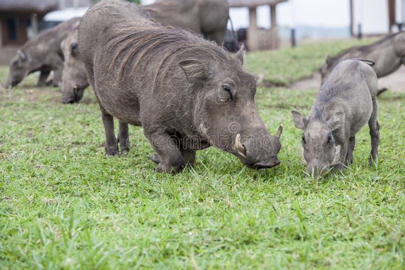 Warthog Family Royalty Free Stock Image