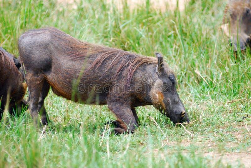 Download Warthog stock photo. Image of mammal, uganda, safari - 33551722