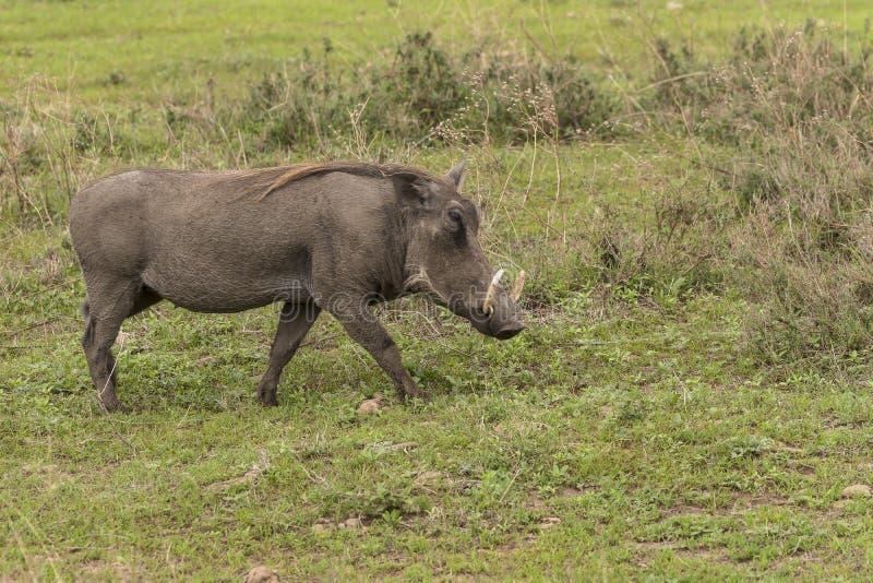 Warthog on grass stock image