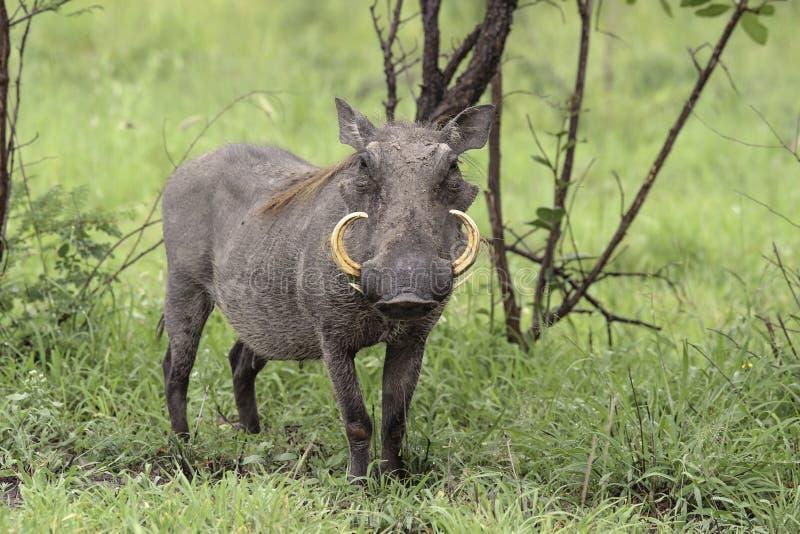 Warthog-Homem fotografia de stock