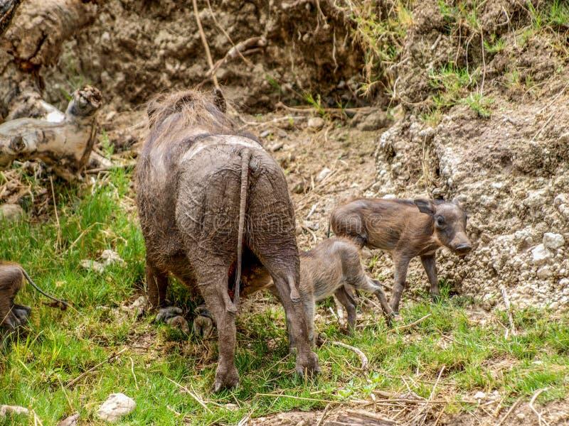 Warthog i lisiątka zdjęcie royalty free