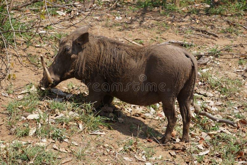Warthog in Kruger National Park. Warthog close up in savanna part of Kruger National Park, South Africa royalty free stock image