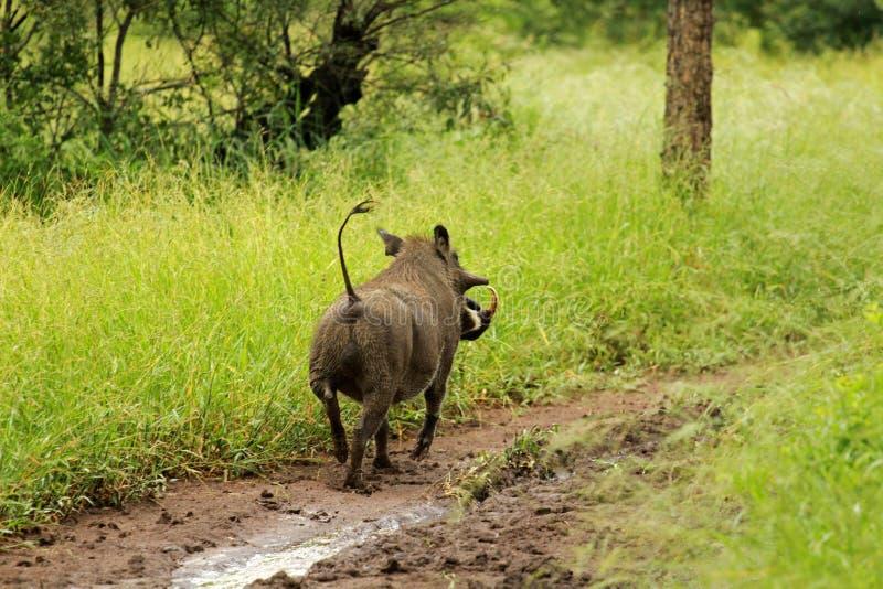 Warthog, Kruger National Park. South Africa stock photo