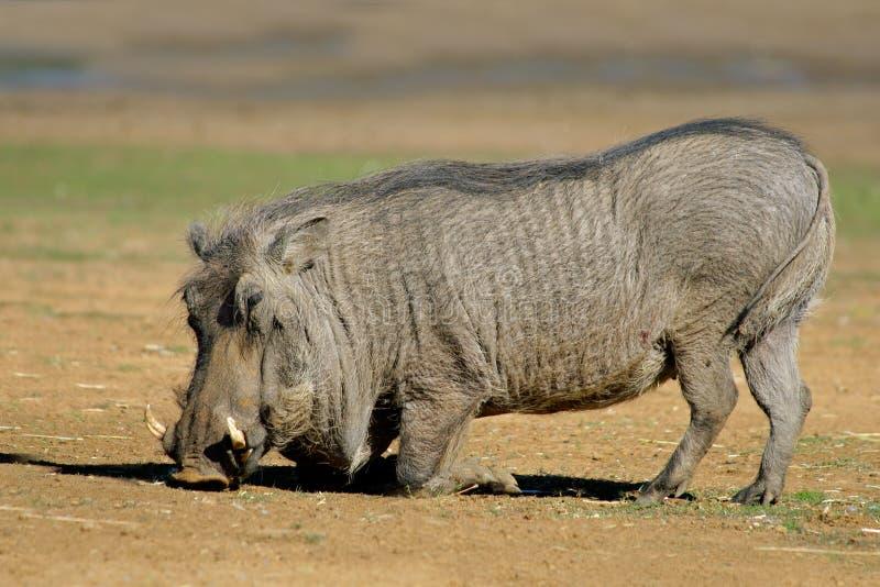 Warthog mâle photographie stock libre de droits