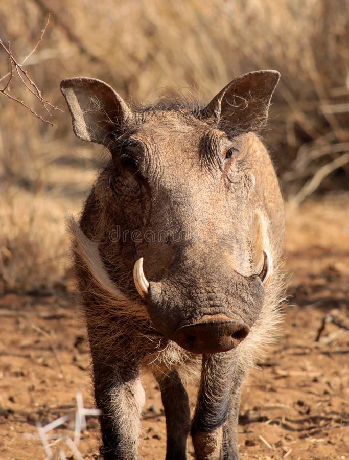 Warthog manlignärbild royaltyfria bilder