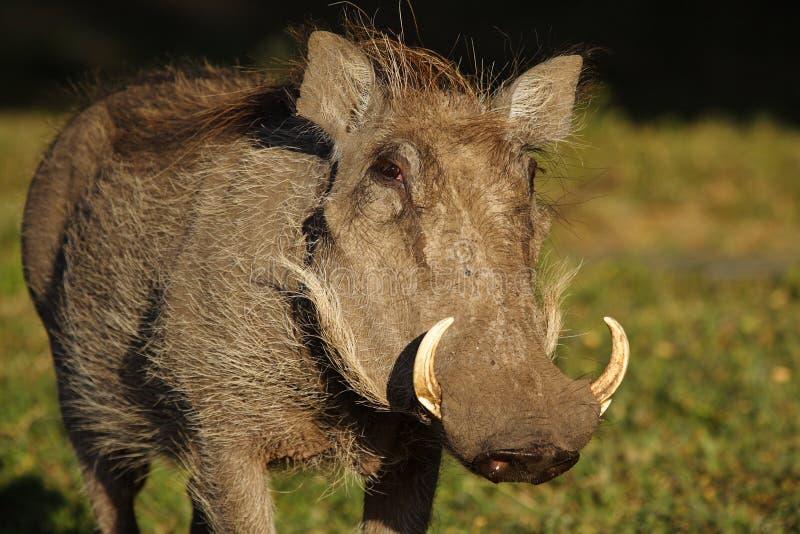 Warthog, Masai Mara, Kenia fotografia stock