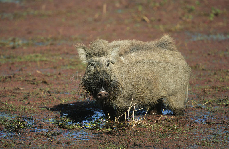 Warthog in mud royalty free stock photography