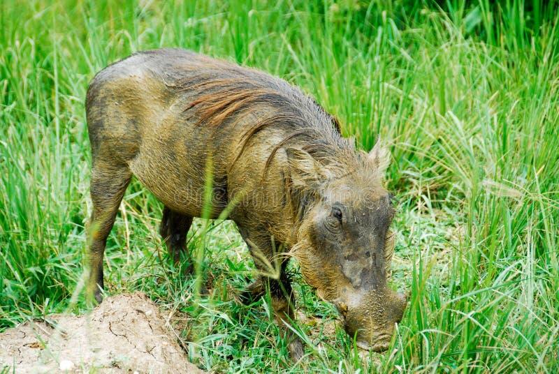 Warthog in Murchison fällt NP, Uganda lizenzfreies stockfoto