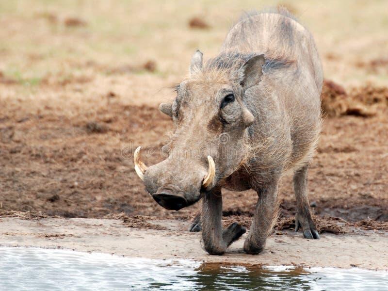 Warthog na reserva de Addo do waterhole imagem de stock royalty free