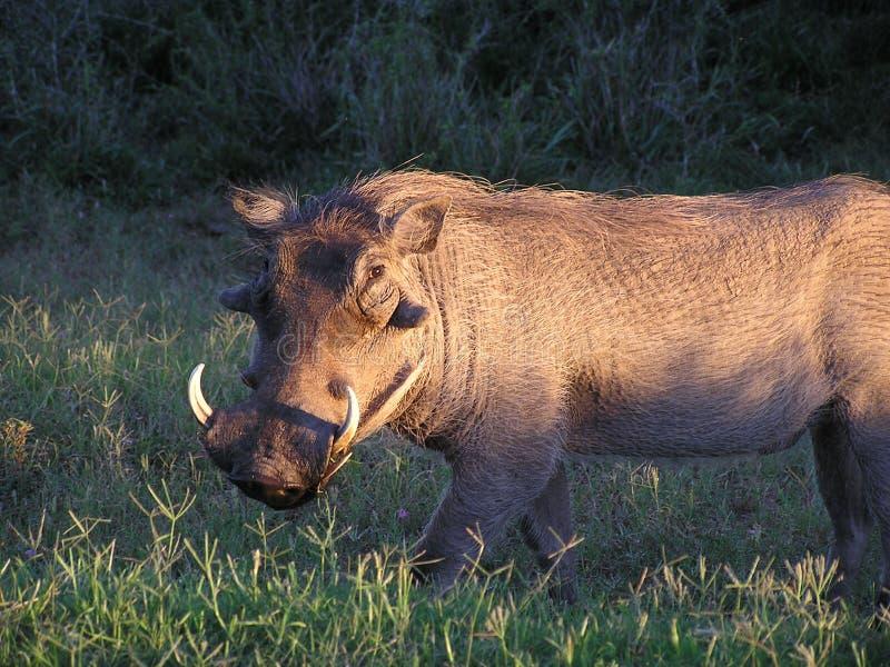 Warthog no nascer do sol fotografia de stock