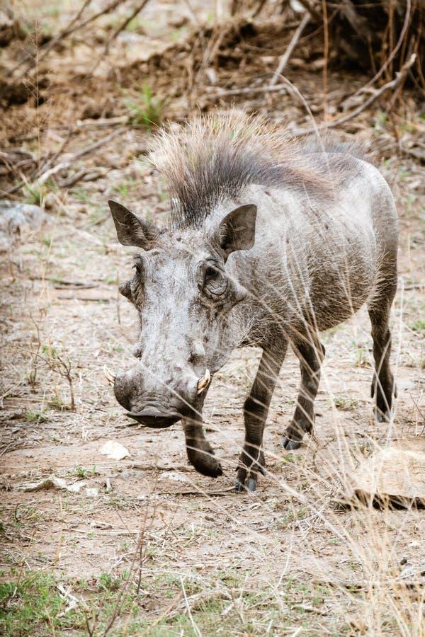 Warthog &-x28; Phacochoerus africanus&-x29; , nabierający Południowa Afryka obrazy royalty free