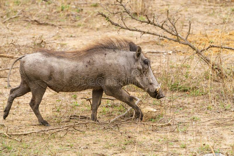 Warthog (Phacochoerus africanus), taken in South Africa. Boars, pigs, suidae, kruger, national, park, mammal, mammals, nature, travel, animal royalty free stock photography
