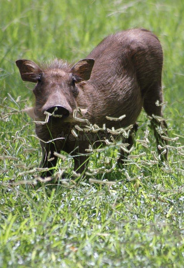 Download Warthog piglet stock image. Image of wildlife, warthog - 11254255