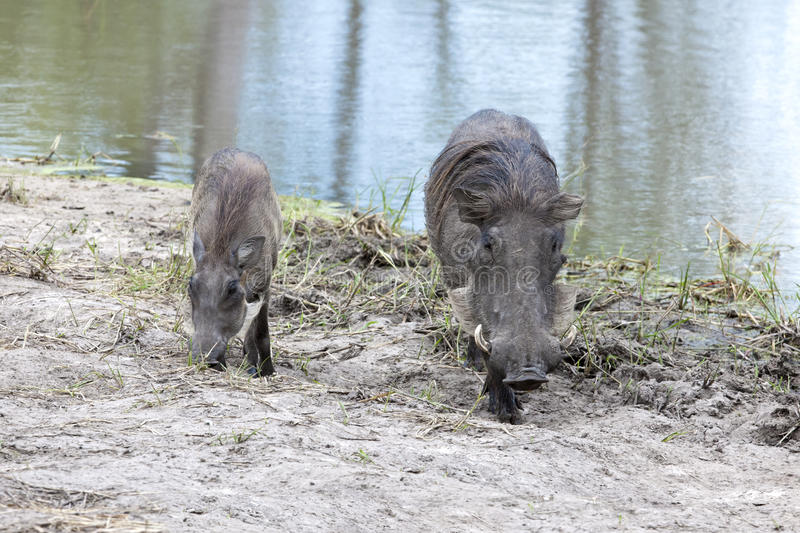 Warthog with piglet royalty free stock photo