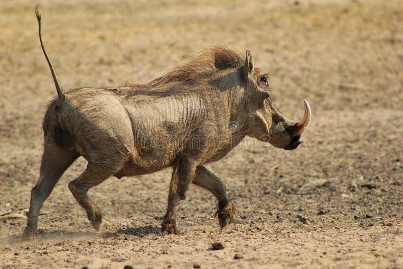 Warthog - porc fonctionnant photo libre de droits