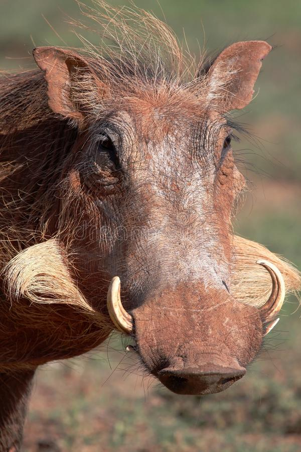 Download Warthog Portrait stock photo. Image of mammal, south - 11722464