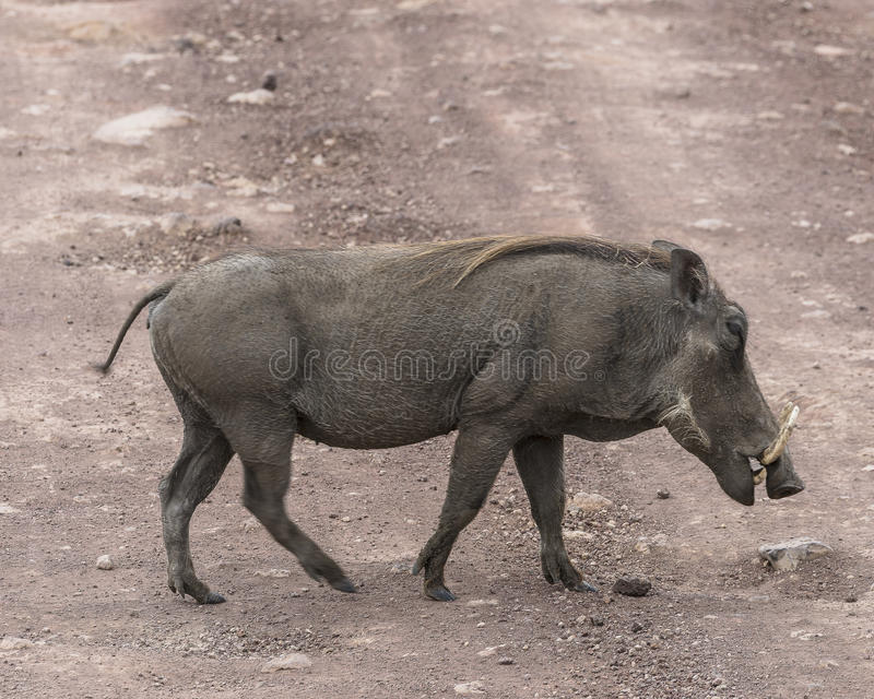 Warthog on the road stock images