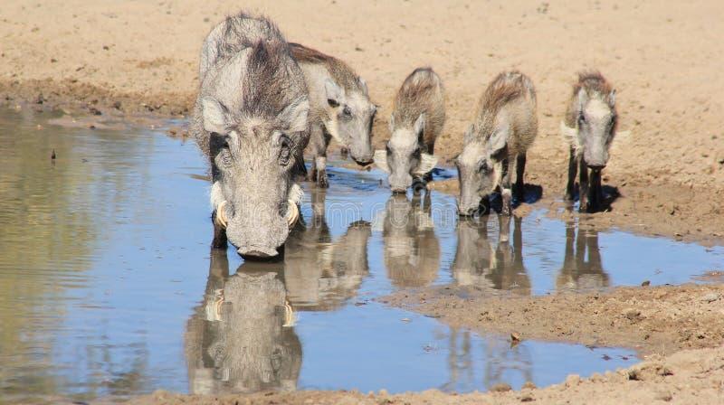 Warthog rodzina Rodzinna ochrona i więzi - Afrykańska przyroda - fotografia stock