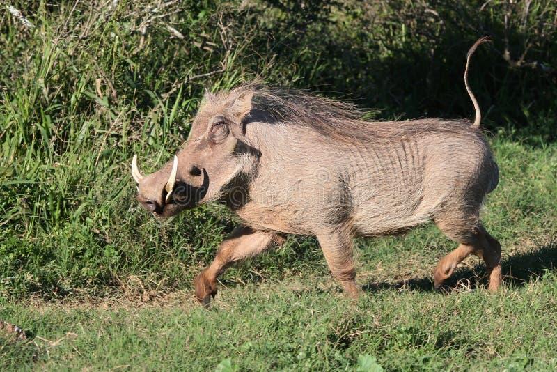 Warthog Running Royalty Free Stock Photography