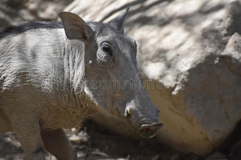 Close Up Look at a Warthog's Face royalty free stock images