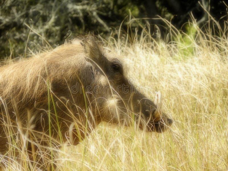 Warthog samiec w obszarze trawiastym obrazy stock
