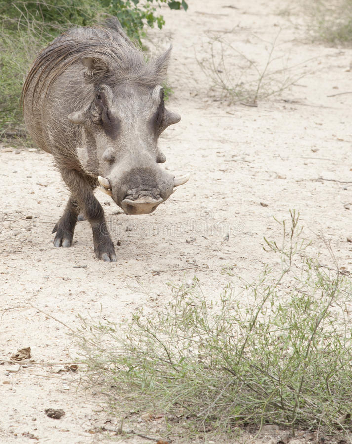 Download Warthog stock image. Image of animal, game, southern - 33802371