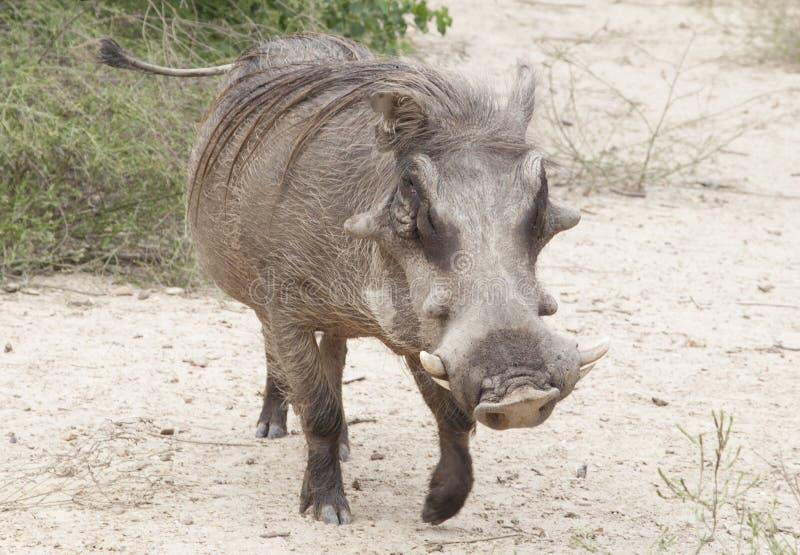 Download Warthog stock photo. Image of mammal, kruger, grasslands - 33802372
