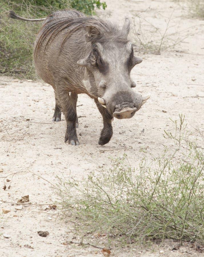 Download Warthog stock photo. Image of organism, africanus, park - 33802374