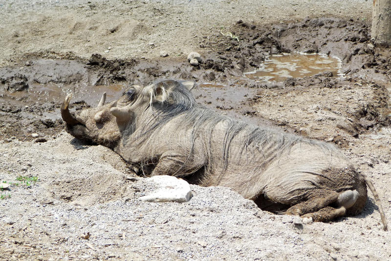 Warthog wallowing en fango foto de archivo