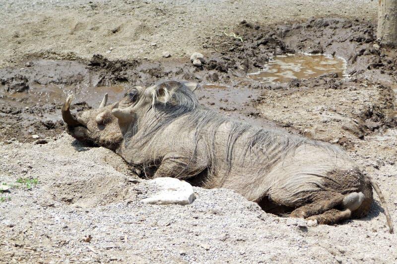 Warthog wallowing in mud stock photo